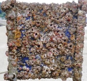 Heavily fouled BioFREE panel recovered in Nagasaki, Japan (Credit, Prof. Yusaku Kyozuka)
